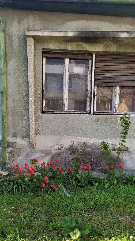Crvene lale u zapuštenoj bašti Jelena Dukarić