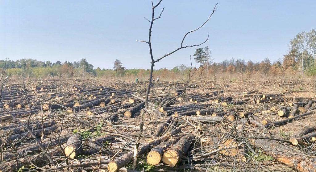 VOICE: Masovne seče šuma kod Subotice – sve ide po planu ili se vraća pustinja?
